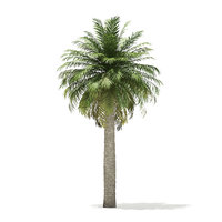chilean wine palm tree 3D