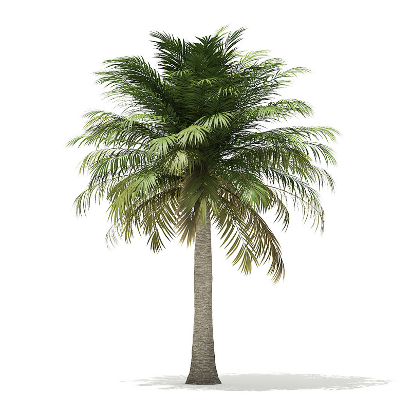 3D chilean wine palm tree model