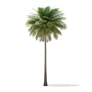 3D coconut palm tree 10