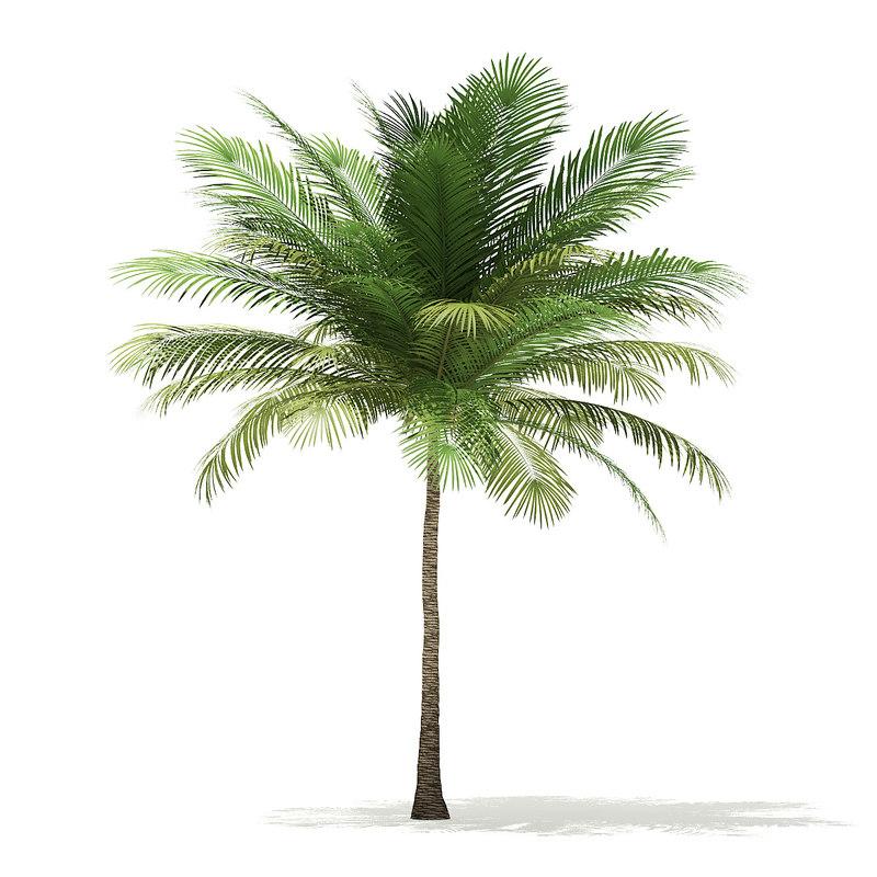 3D model coconut palm tree 6m