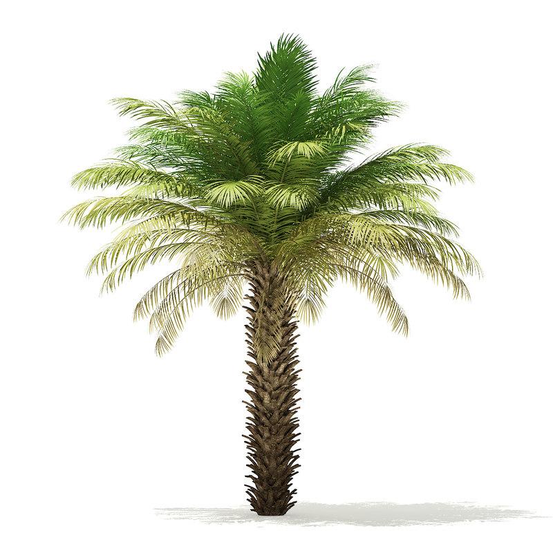 3D date palm tree 5m