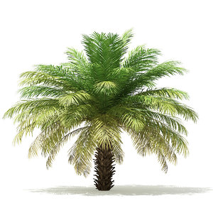 date palm tree 4m 3D model