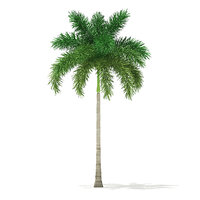 foxtail palm tree 7 model