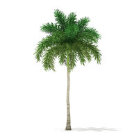 foxtail palm tree 9 3D