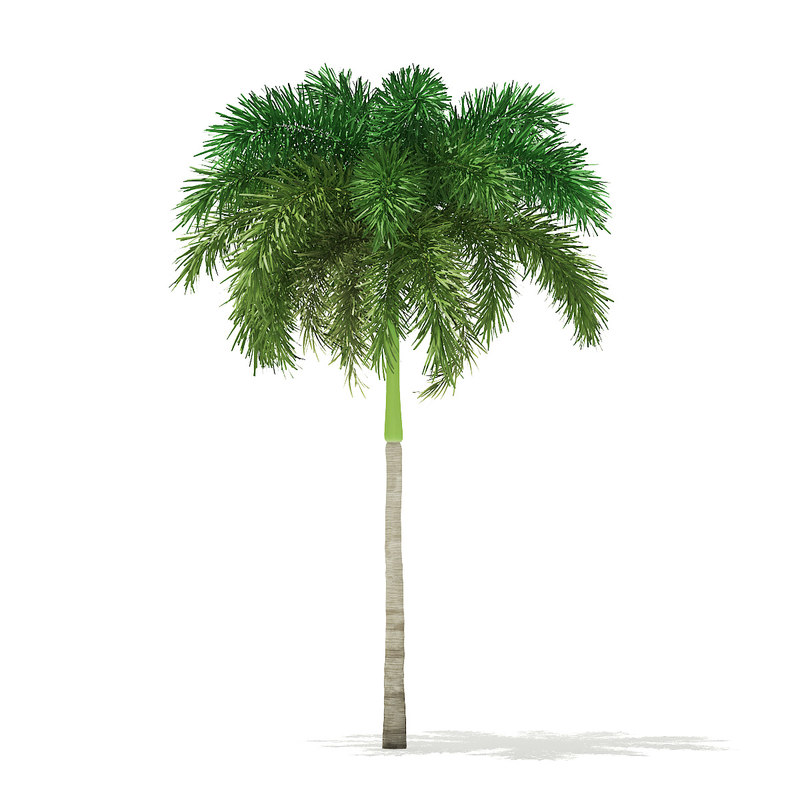 3D foxtail palm tree