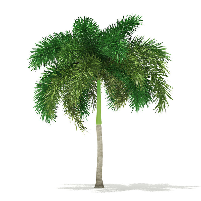 3D model foxtail palm tree