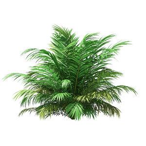 golden cane palm 3D model
