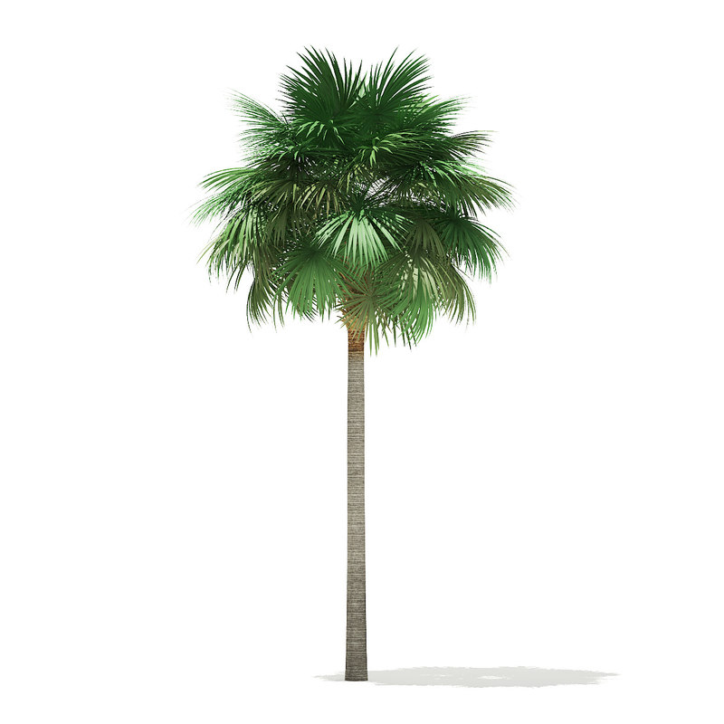 3D sabal palm tree 10