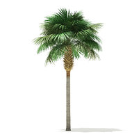 sabal palm tree 3D model