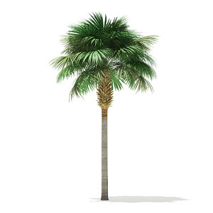 sabal palm tree 3D model