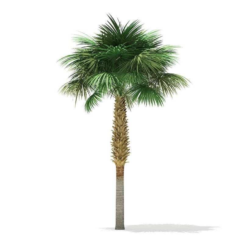 sabal palm tree 7 3D model