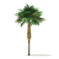 sabal palm tree 7 3D model