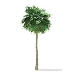sabal palm tree 12m model