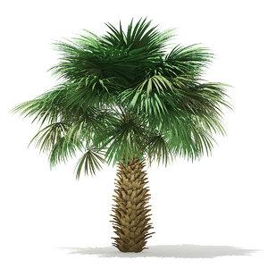 3D sabal palm tree 4m