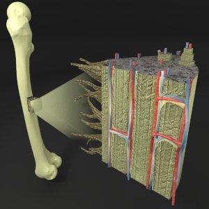 histology bone 3D