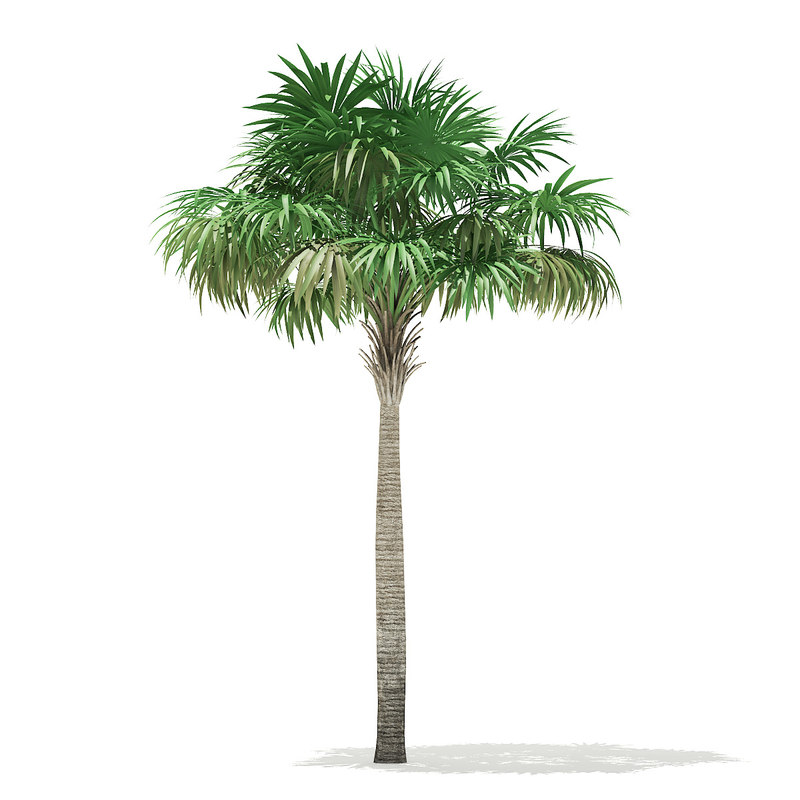 thatch palm tree 7m 3D