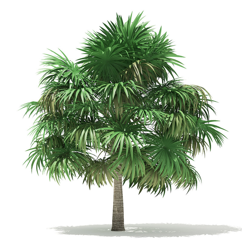 thatch palm tree 5m 3D model