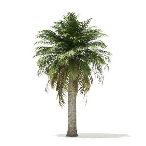 chilean wine palm tree model