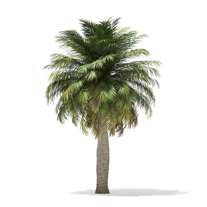 chilean wine palm 6 3D model