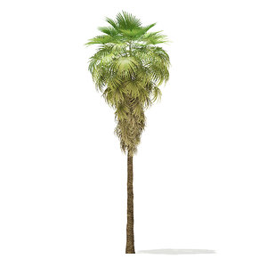 california palm tree 11 3D model