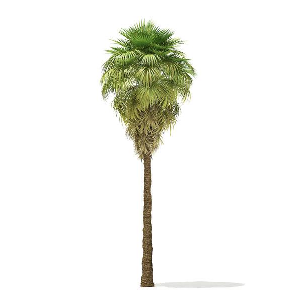 3D model california palm tree 9m