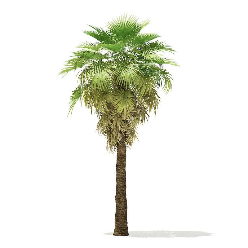 california palm tree 6 3D model