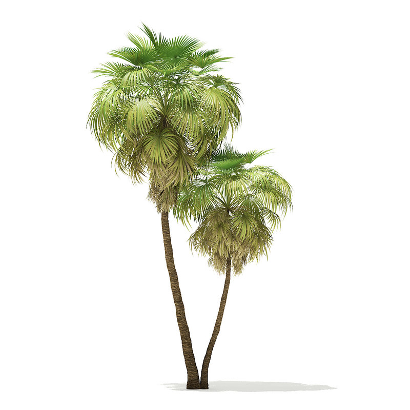 3D california palm tree 9 model
