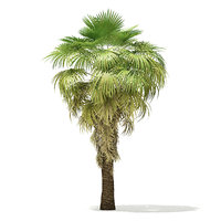 3D california palm tree