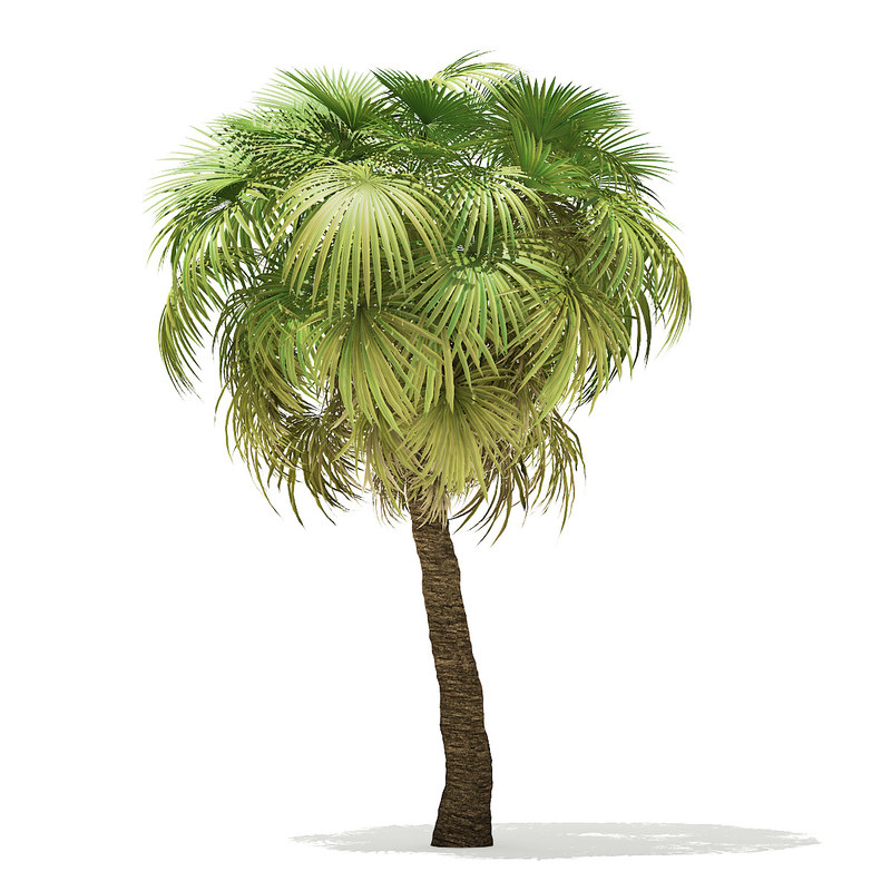california palm tree 7 3D model