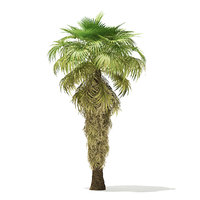 3D california palm tree 8m