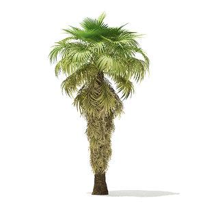 3D california palm tree 8m