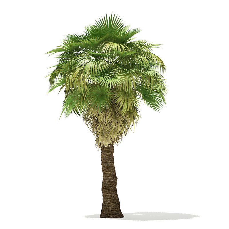 3D california palm tree 7m model
