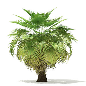 california palm tree 5 3D model