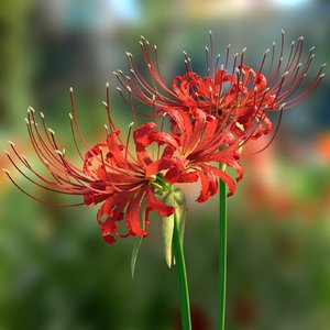 red spider lily model