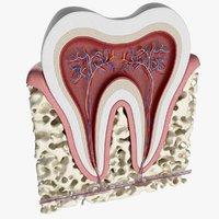 tooth anatomy human 3D model