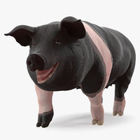 3D model hampshire pig sow walking