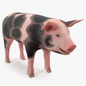 3D pig piglet pietrain