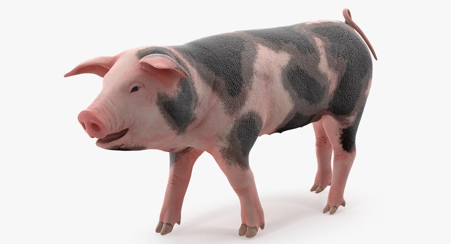 pig piglet pietrain walking 3D model