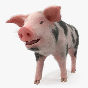3D model pig piglet pietrain walking