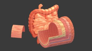3D intestines human anatomy cross section model