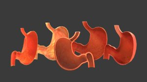 stomach human anatomy cross section 3D model