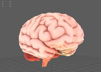 human brain anatomy ar 3D model