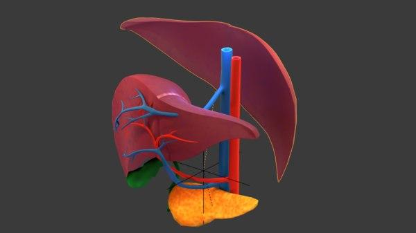 liver human anatomy cross section 3D model