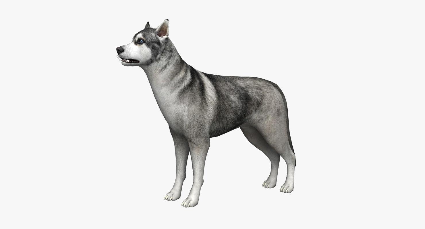 max siberian husky