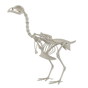 3D hen skeleton