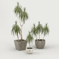 Palm Dracena Marginata