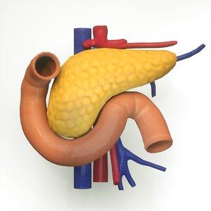 3D pancreas human model