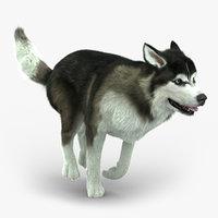 Siberian Husky (FUR) (ANIMATED)