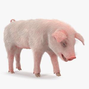 3D pig piglet landrace standing model