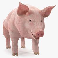 pig sow landrace 3D